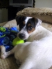 Jack Russell Terrier, 2, mix