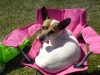 Jack Russell Terrier, 6 years and 10 months, white with brown