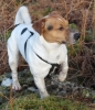 Jack Russell Terrier, 3 years, Tri