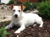 Jack Russell Terrier, 6 years, White and red