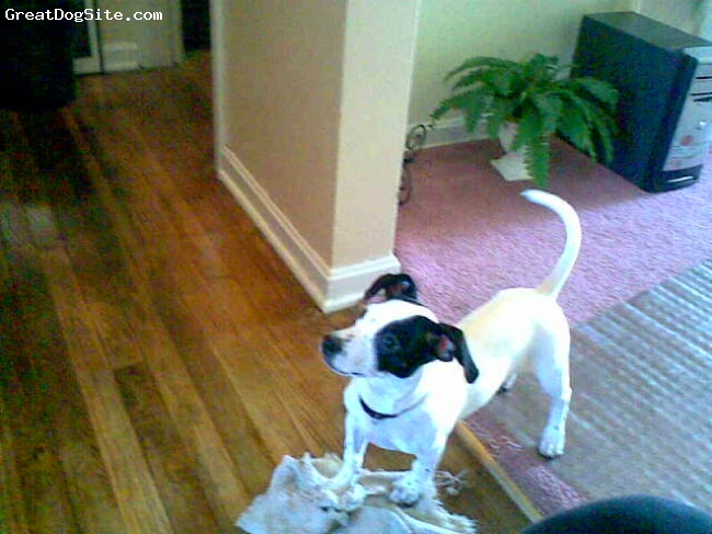 Jack Russell Terrier, 10 m, Black&White, He is Cute