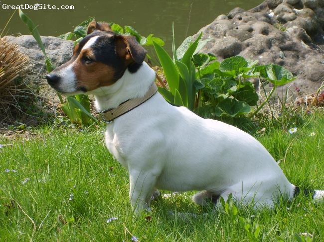 Jack Russell Terrier, 05/03/07, brown white and black, he is very intelligent and great fun