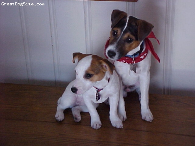 Jack Russell Terrier, 5, tri, Frasier and Daphne were my first 2 JRT. 