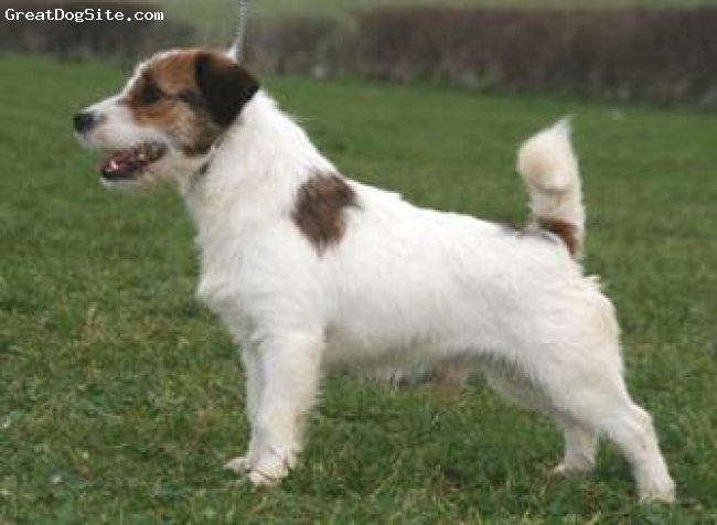 Jack Russell Terrier, 2 year, tan and white, badger a rough coated jack russell