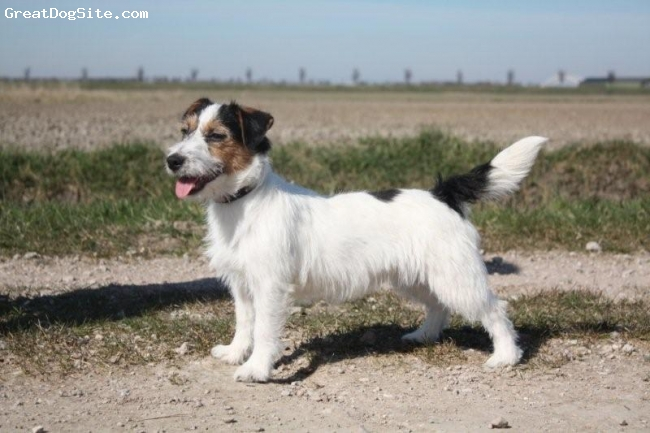 Jack Russell Terrier, 6 months, 3 color, raven (king Bassie's Master Piece) 6 months old rough coated jack