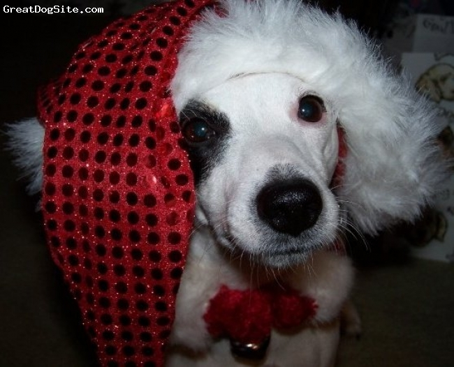 Jack Russell Terrier, 6, White with Black Eye, Dressed for the holidays