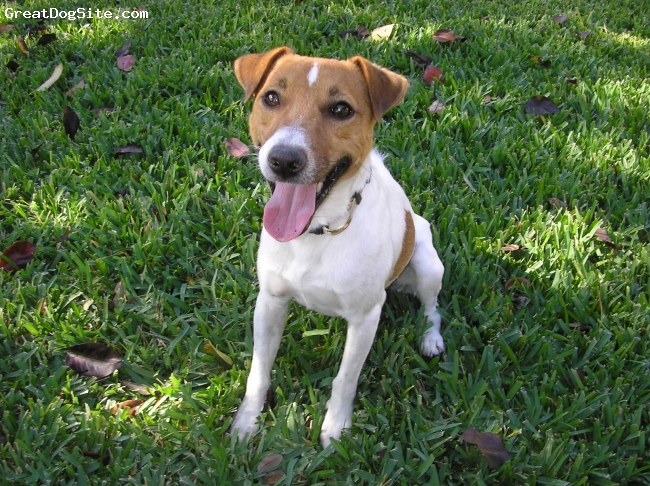 Jack Russell Terrier, 2 years, White/Brown, He is a great dog! He is slightly aggressive with other dogs.