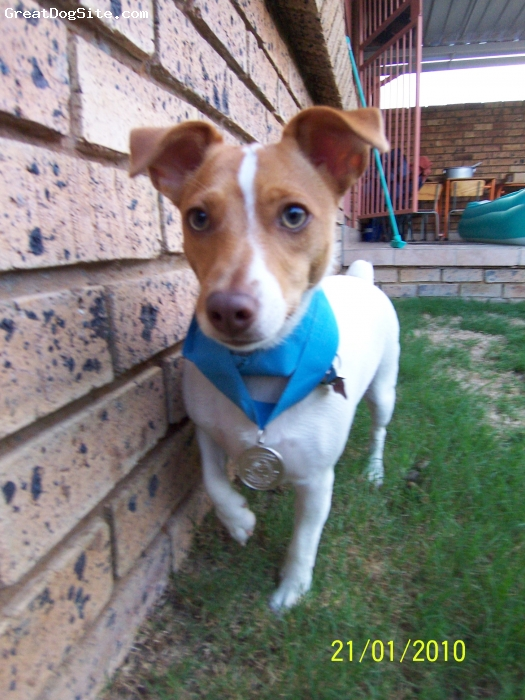Jack Russell Terrier, 2 years, Light brown and white, The dearest dog with green and yellow eyes.  Perfect kind personality.