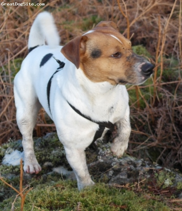 Jack Russell Terrier, 3 years, Tri, Beautiful - Brave - Bundle of Beans