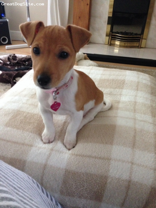 Jack Russell Terrier, 6 1/2 months, White and tan, Bouncy and full of fun, Bonnie is a lot very natured wee pup. So much energy!