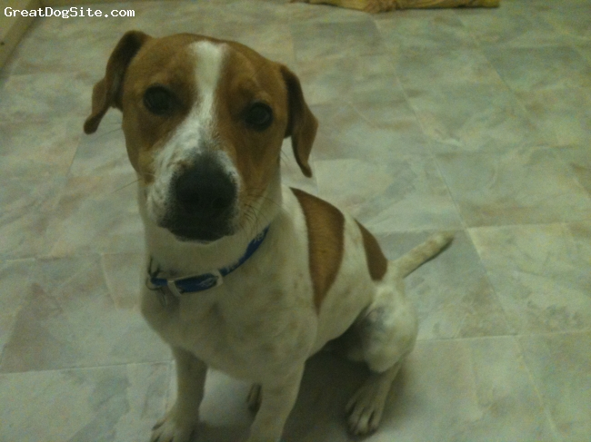 Jack-A-Bee, 18months, White x Tan, He is a pound rescue dog. He is very cute but very very mischievous, requiring a lot of attention! But loves to love!
