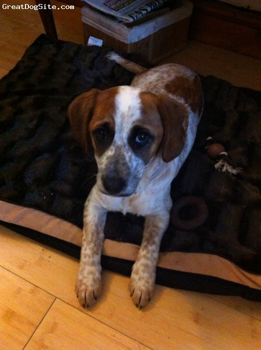 Jack-A-Bee, 6 months, tan and white, Millie is a jrt x beagle female. 6 months old.  Very affectionate.  Very intelligent.