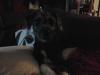 Jack-A-Poo, 6 months, black