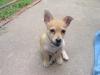 Jack-A-Ranian, 3 months, Blonde