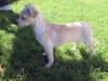 Jack-A-Ranian, 4 months, Tan/White