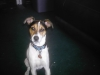 Jack-Rat Terrier, 2yrs, black,white and brown