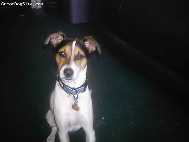 Jack-Rat Terrier, 2yrs, black,white and brown, cute as a button very high energy , very ,very nosyand can be the snuggle bum when he feels like it