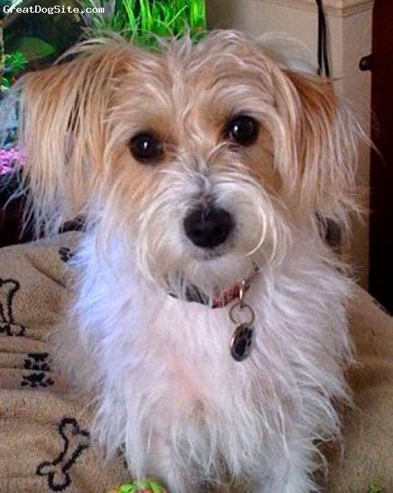 Jackie-Bichon, 3 years, brown and white, such a cutie