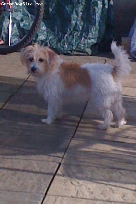 Jackie-Bichon, 3 years, brown and white, beautiful