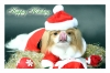 Japanese Spaniel, 4, White and Red