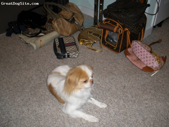 Japanese Spaniel, 4, White and Red, enjoying family time