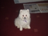 Japanese Spitz, 8 weeks, white