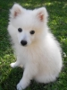 Japanese Spitz, 4 months, White - of course