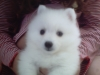 Japanese Spitz, 12-31-2009, PURE WHITE DBL. COATED LONG HAIR.