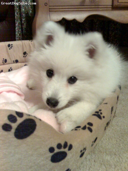 Spitz Information Japanese Spitz Question and Answer Japanese Spitz