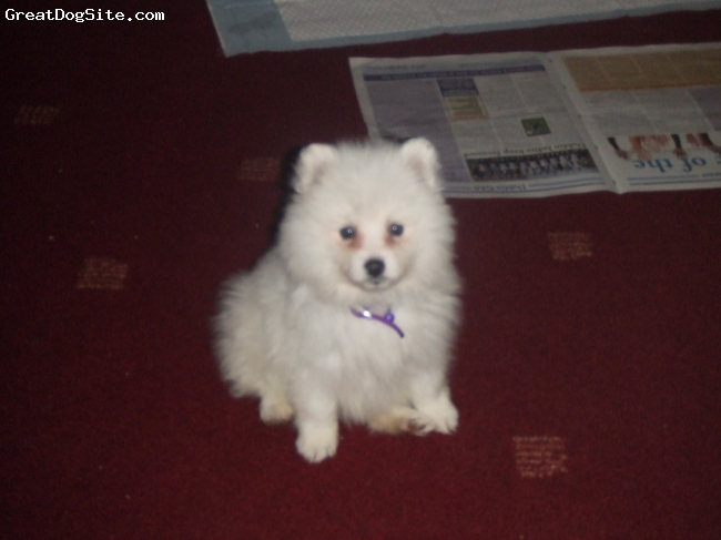 Japanese Spitz, 8 weeks, white, as a good lil baby
