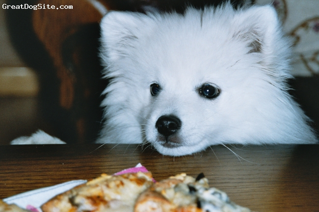 Japanese Spitz, 5, hvite, Toyo-Mikado.japanese spitz.Born 1.july 04,in Norway.Toyo eiing in mammys homemade PIZZA!! 12 week old...