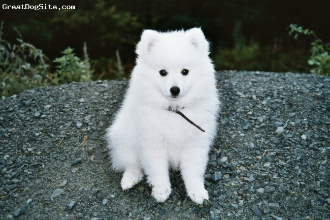 Japanese Spitz, 5, hvite, Toyo-Mikado.Japanese spitz.born in norway 1.july 04.Here 10 weeks old..