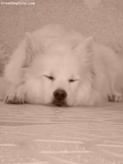 Japanese Spitz, 9 Years Old, White, Sleeping outdoors. But the ears are always in alert for possible intruders.