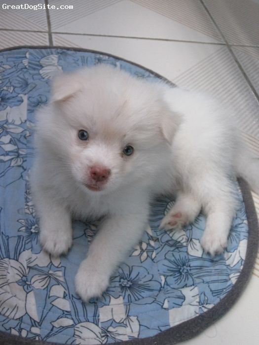 Japanese Spitz, 3 months, white, pink nose and grey eyes