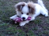 Japillon, 12-16wks, white and tan