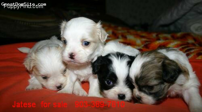 Jatese, 12 weeks, mixed, the picture of 4 jatese pups at about 5 weeks old  Chin x maltese cross  pups for sale