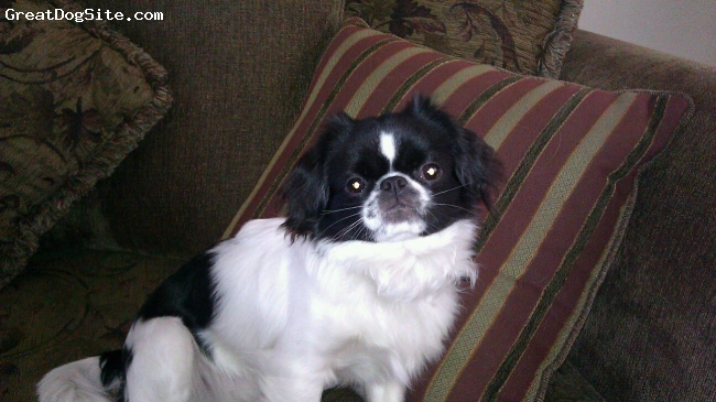 Jatese, 3, Black and white, Bandit is a really sweet 3 year old Jatese that loves to watch T.v  (animal planet). He loves to lay on his back and have his belly rubbed. He also loves to be cuddled. He has a 6 year old brother who is also a Jatese