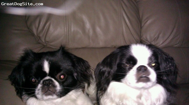 Jatese, 3 and 6, black and white, Bandit is a 3 year old Jatese and Oreo is a 6 year old Jatese.