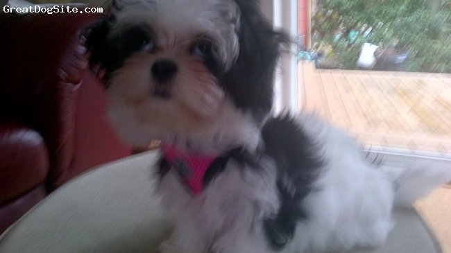 Jatese, Five months, Black and White, Female - playful, nice temperament