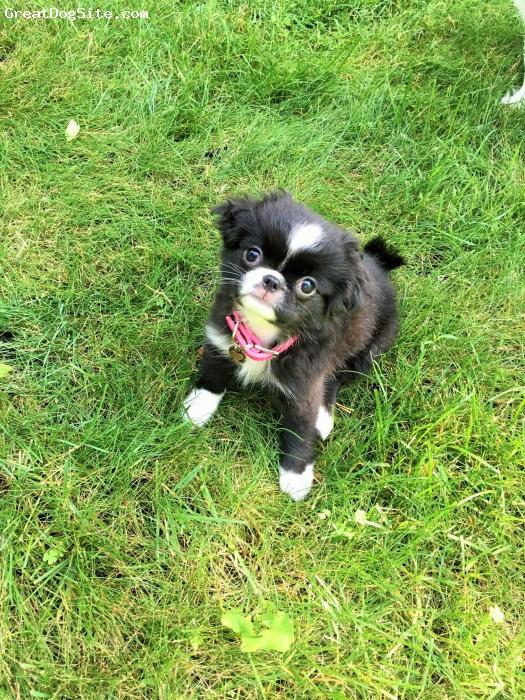 Jatzu, 4 months, Black & White, Nellie is such a wonderful little puppy !