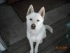 Jindo, 10, white