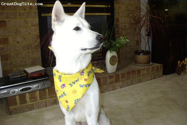 Jindo, 2, white, loving loyal dog