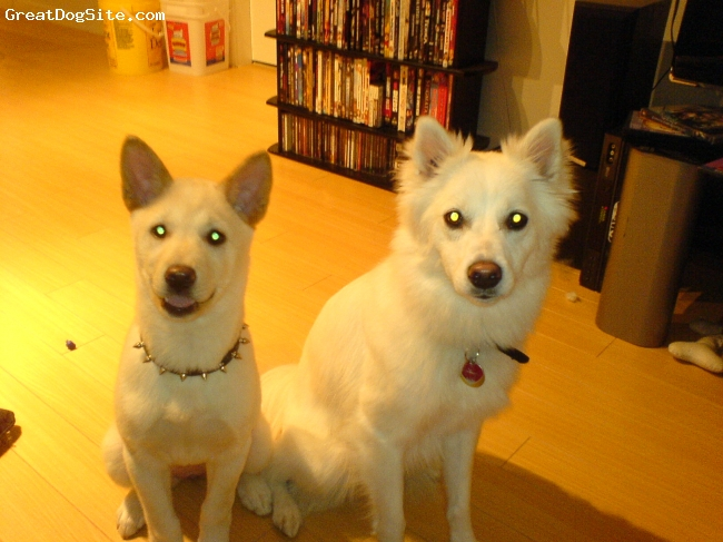 Jindo, 3months, tan / white, Loveing playful little pup love to run around with her buddy(2year old eski) love and will take as much attention as she can.  A bit shy around strangers and other dogs.