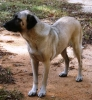 Kangal, 7 years, Tan with Black