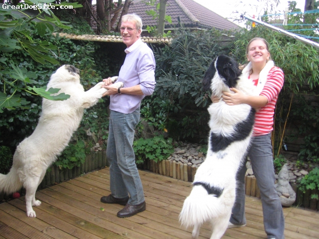 Karakachan, 18 months, White/black markings, A pair of beautiful dogs we hope will breed very soon now.We brought them from Bulgaria to the UK in June 2008 and they have settled in very well with all the family.