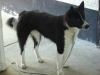 Karelian Bear Dog, approx. 2 yr., black& white