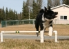 Karelian Bear Dog, 6 months, black and white