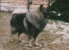 Keeshond, male, Grey