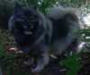 Keeshond, female, Grey