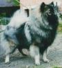 Keeshond, 2, Grey